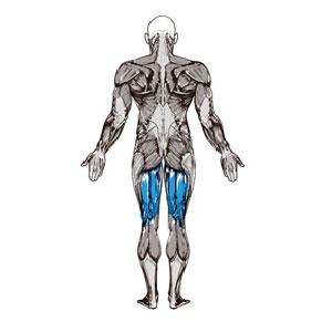 آناتومی بدن ( عضله همسترینگ )
