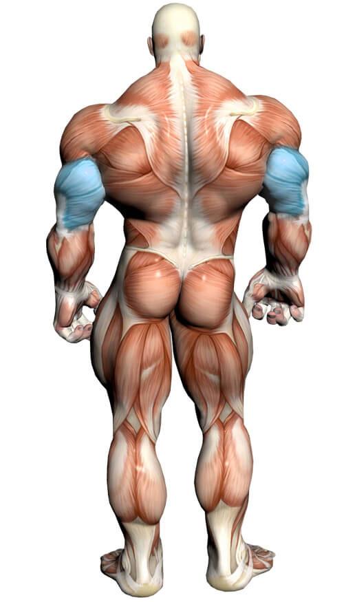 آناتومی بدن ( ماهیچه سه سر )