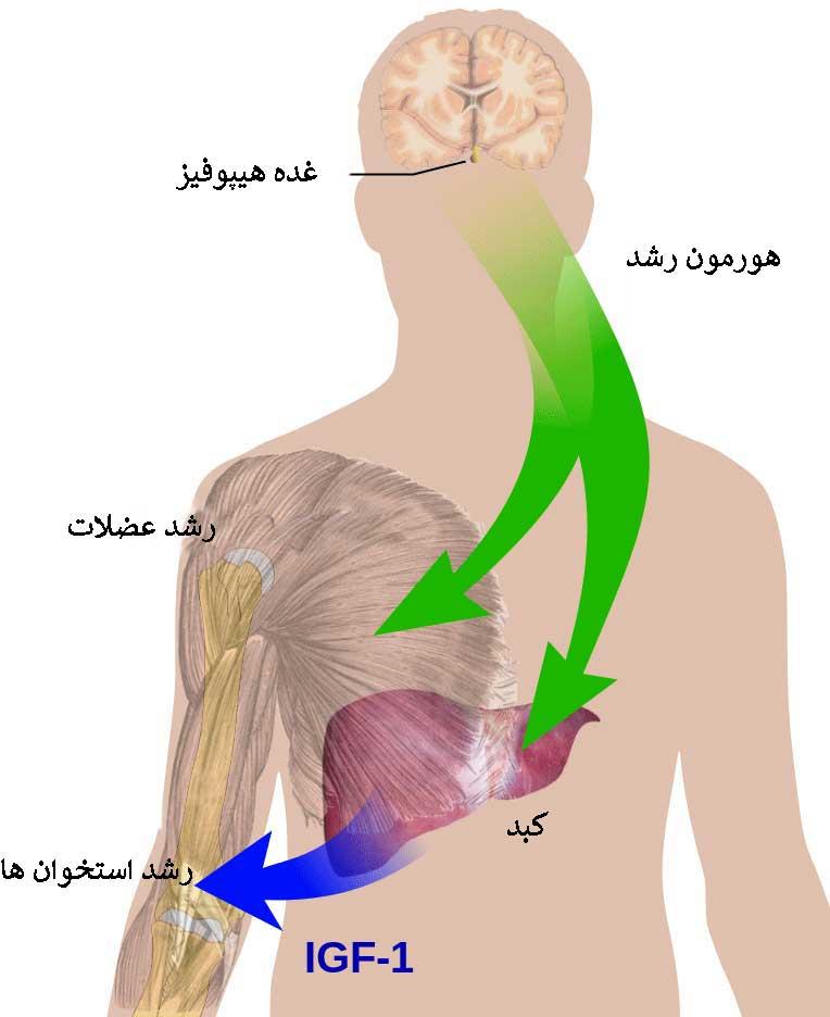 اثرات هورمون رشد در بدن انسان