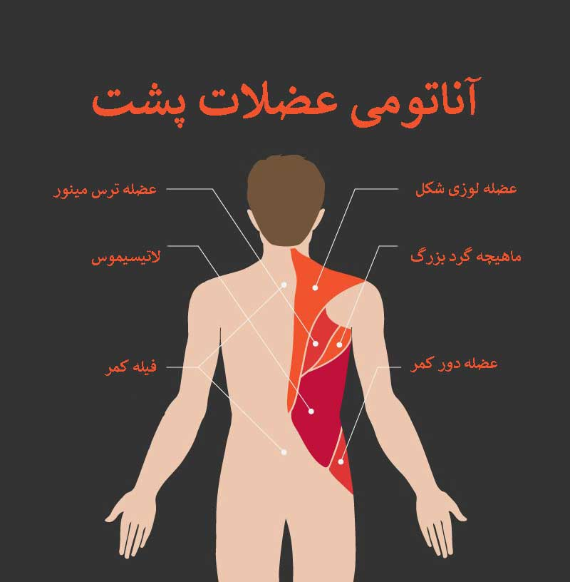 آناتومی بدن ( عضلات پشت )