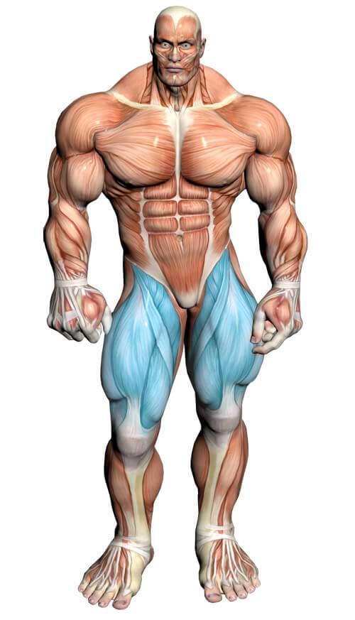آناتومی بدن ( عضله چهار سر زانو )