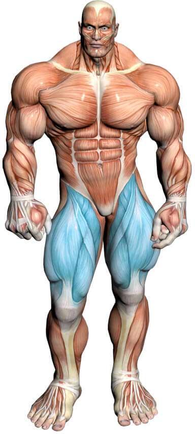 آناتومی بدن ( ران پا )
