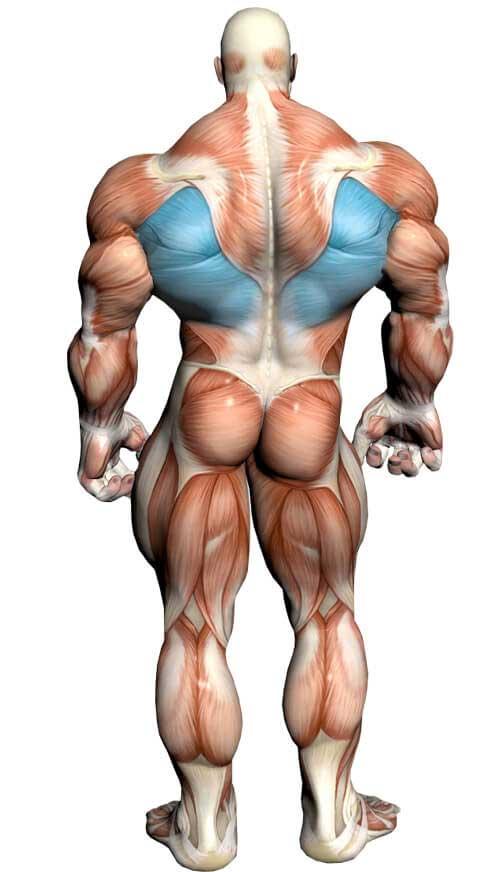 آناتومی بدن ( عضله لاتیسیموس )