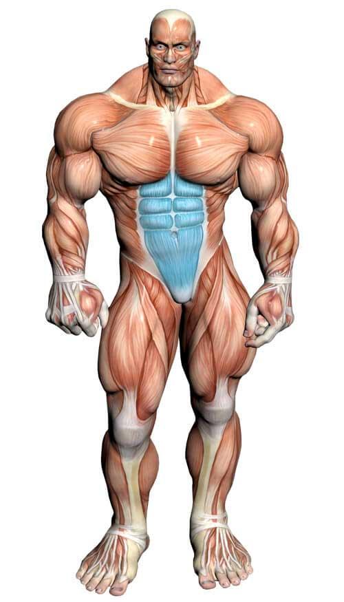 آناتومی بدن ( عضلات شکم )