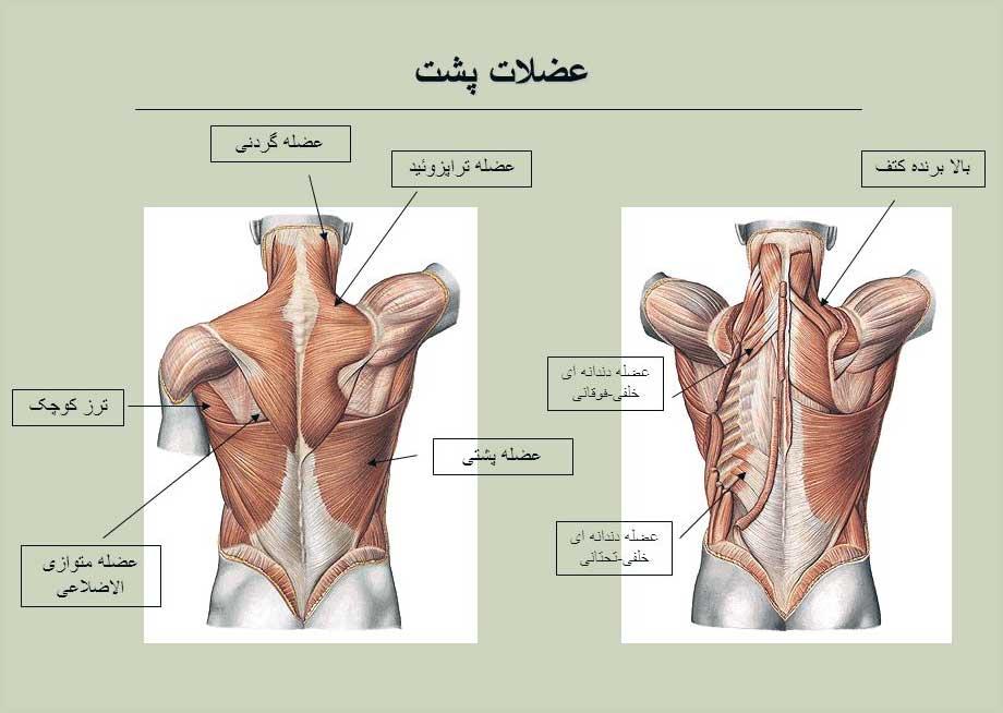 آناتومی بدن ( پشتی بزرگ )
