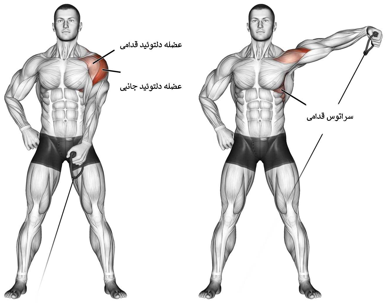 آناتومی عضلات سرشانه در تمرین نشر از جانب