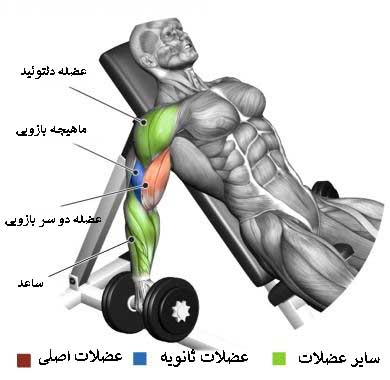 آناتومی بدن در حرکت جلو بازو دمبل میز شیبدار