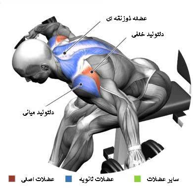 آناتومی بدن در تمرین نشر خم دمبل