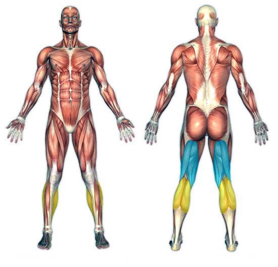 عضله همسترینگ در تمرین پشت پا