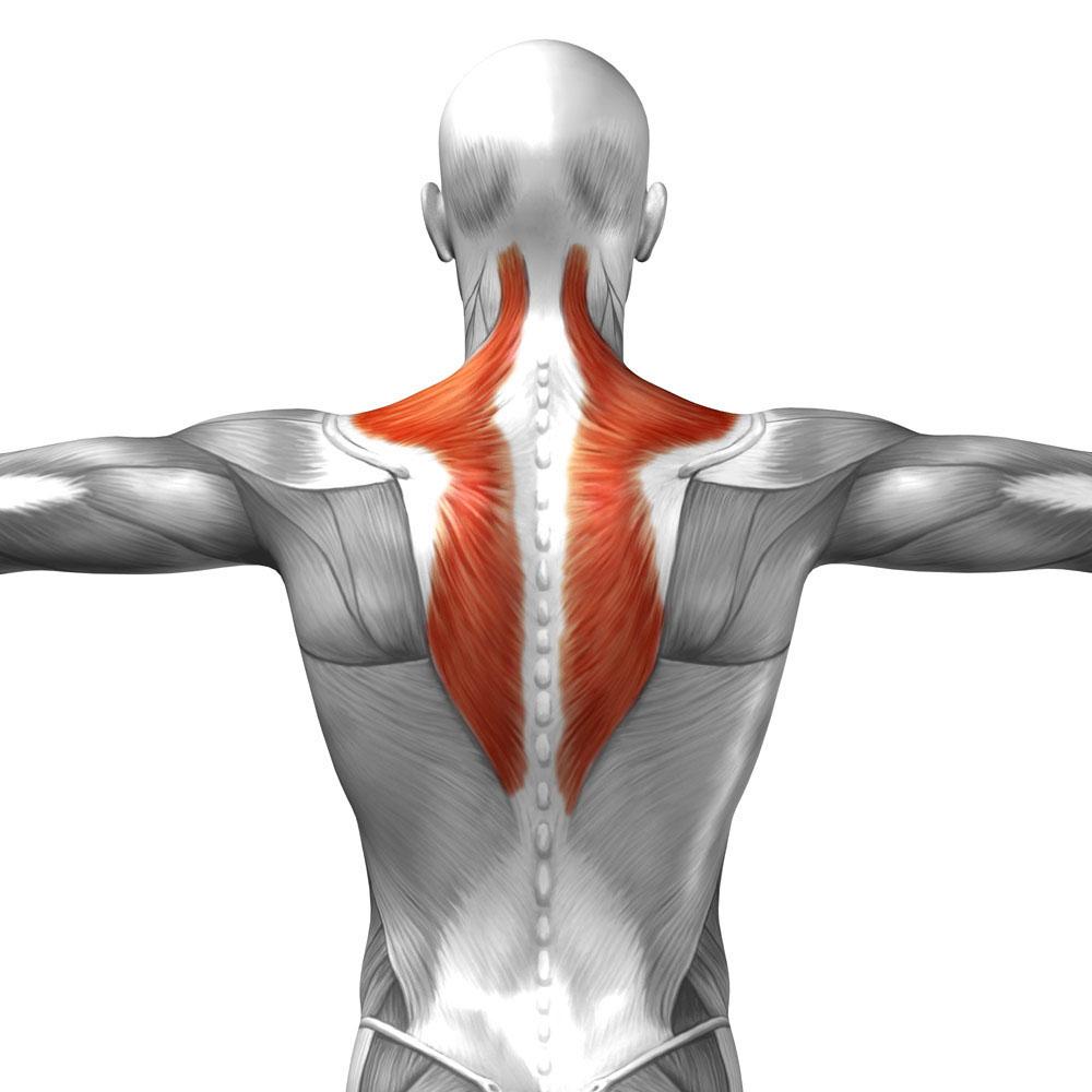 آناتومی بدن ( عضله ذوزنقه ای )