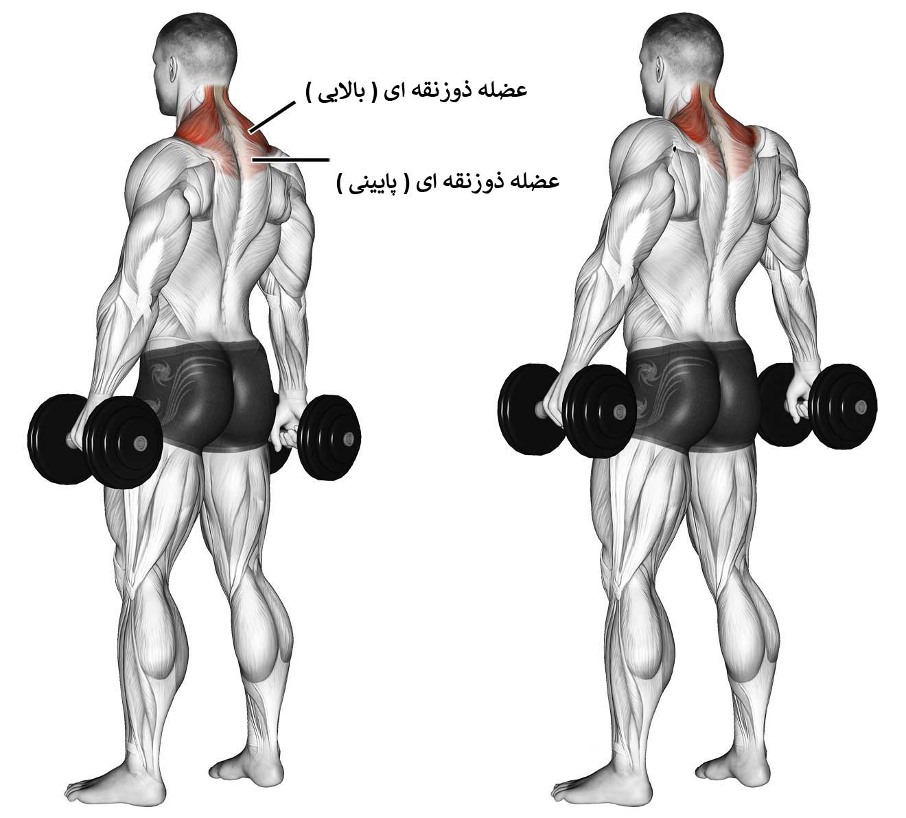 آناتومی بدن در حرکت شراگ دمبل