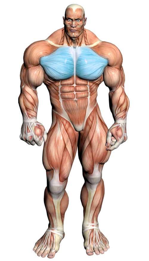 آناتومی بدن ( عضلات سینه )