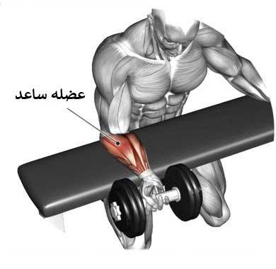 آناتومی بدن در حرکت ساعد دمبل تک دست نشسته