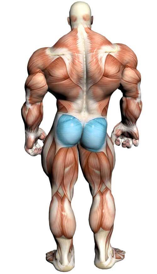آناتومی بدن (ماهیچه سرین)
