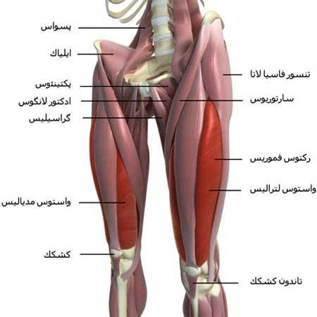 آناتومی عضله چهار سر ران