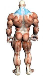 آناتومی بدن ( پشتی بزرگ - عضله ذوزنقه ای - کول )