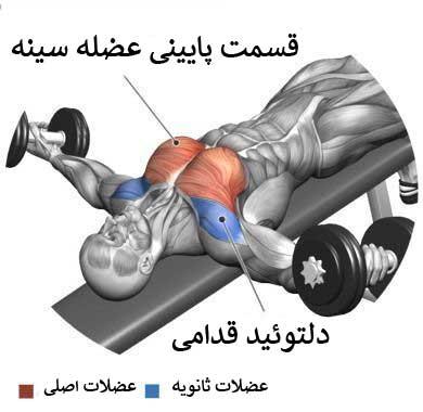 آناتومی بدن در حرکت فلای زیر سینه دمبل