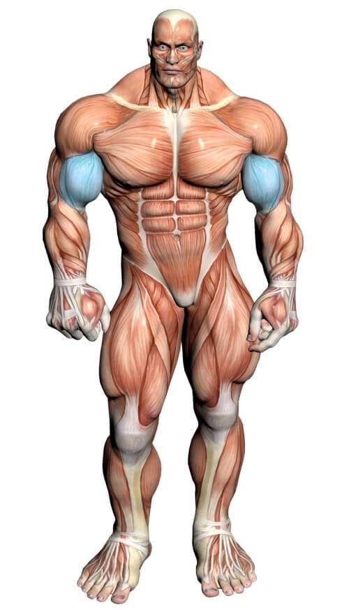 عضله جلو بازو ( آناتومی بدن )