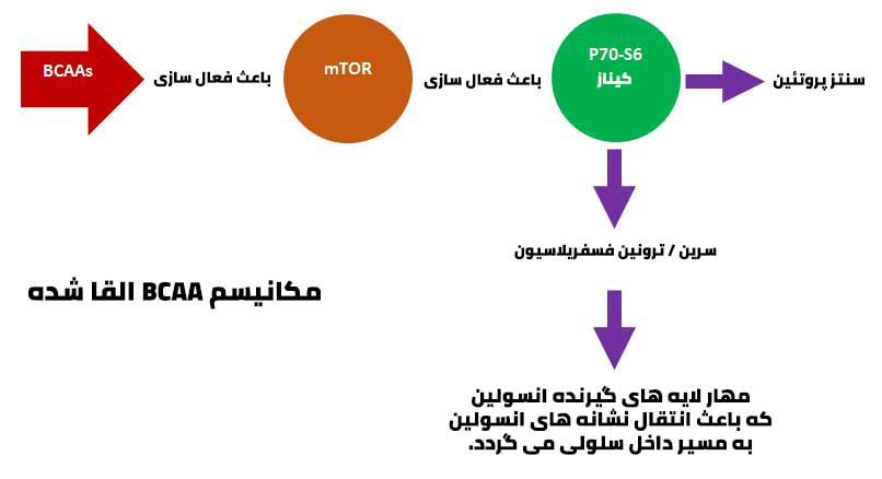 مکانیسم BCAA القا شده