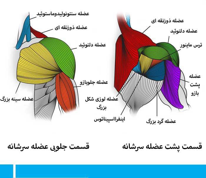 آناتومی قسمت های مختلف عضله سرشانه