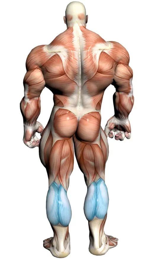 آناتومی بدن ( عضله ساق پا )