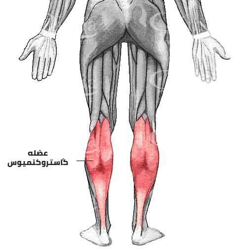 آناتومی عضله گاستروکنمپوس