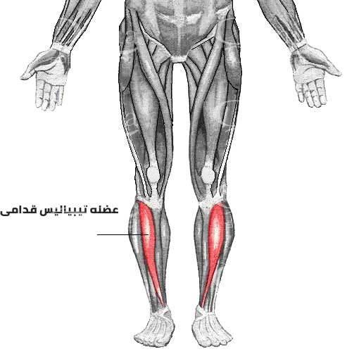 آناتومی عضله تیبیالیس قدامی