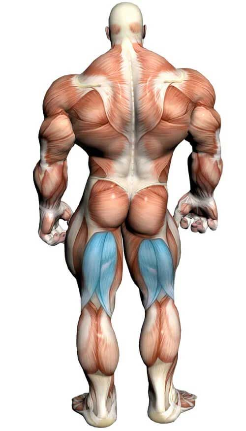 آناتومی بدن - عضله همسترینگ
