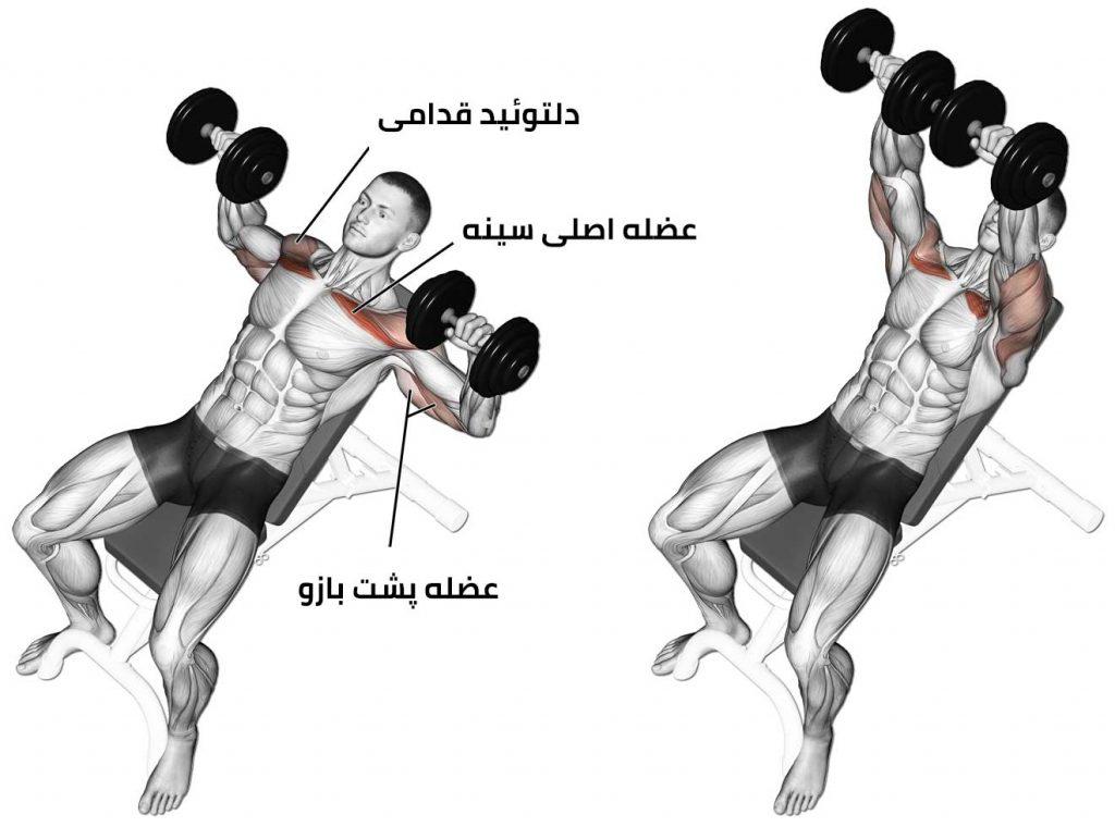 عضلات درگیر در تمرین پرس بالا