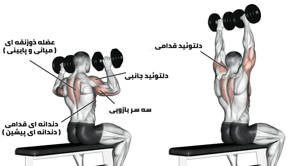 آناتومی عضلات شانه در تمرین پرس شانه