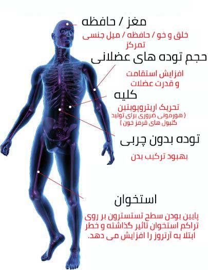 تاثیر تستوسترون در سیستم بدن